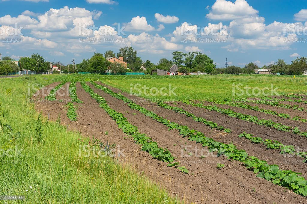 Landscape with small pumpkin field stock photo