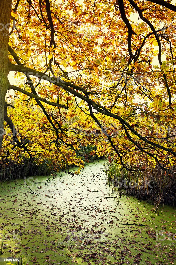 Landscape with standing water overgrown with duckweed in autumn stock photo