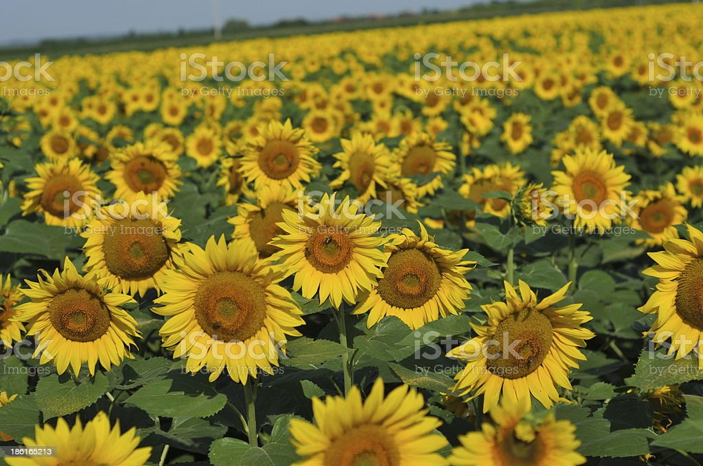 Landscape with sunflower stock photo