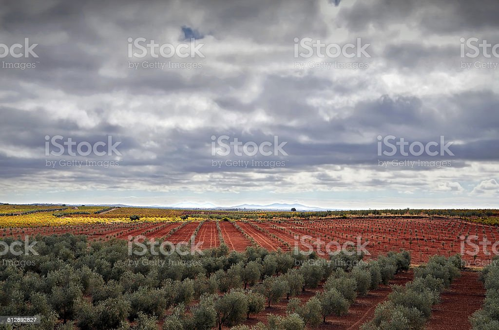 landscape with vineyards and olive trees stock photo