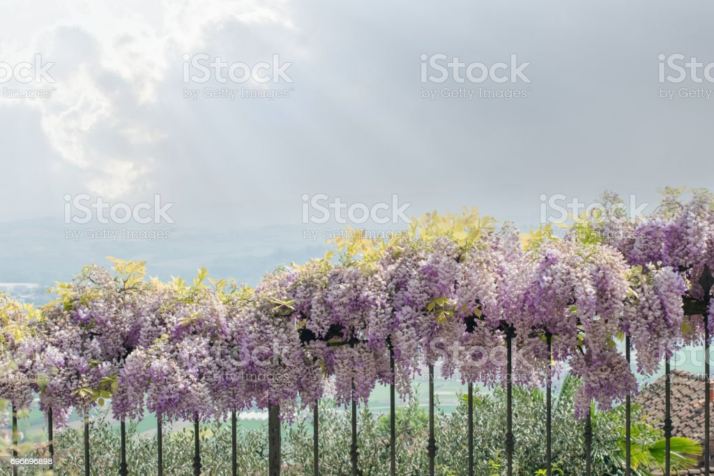 Landscape with violet acacia and sunrays stock photo
