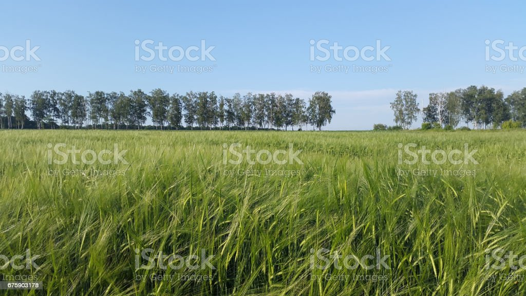 landscape with wheat - green field under blue sky stock photo
