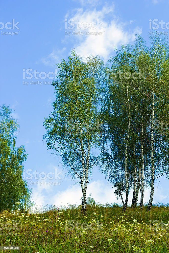 Landscape with young birch trees against blue sky stock photo