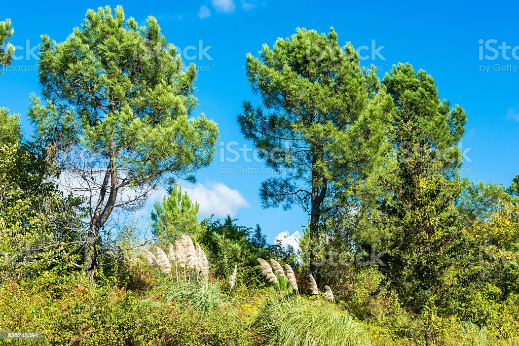 Landscape with young pines. stock photo