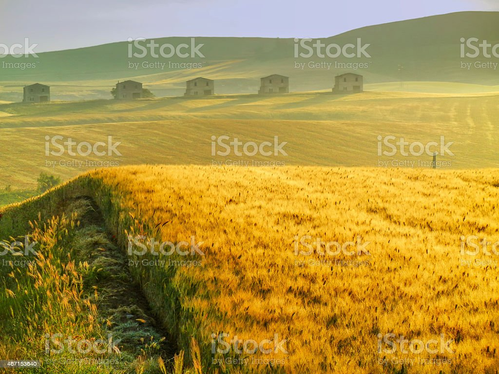 SPRING LANDSCAPE.Between Puglia and Basilicata: corn field at dawn. (ITALY) stock photo