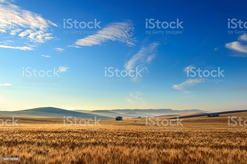 SUMMER LANDSCAPE.Between Puglia and Basilicata: corn field at dawn. (ITALY) stock photo