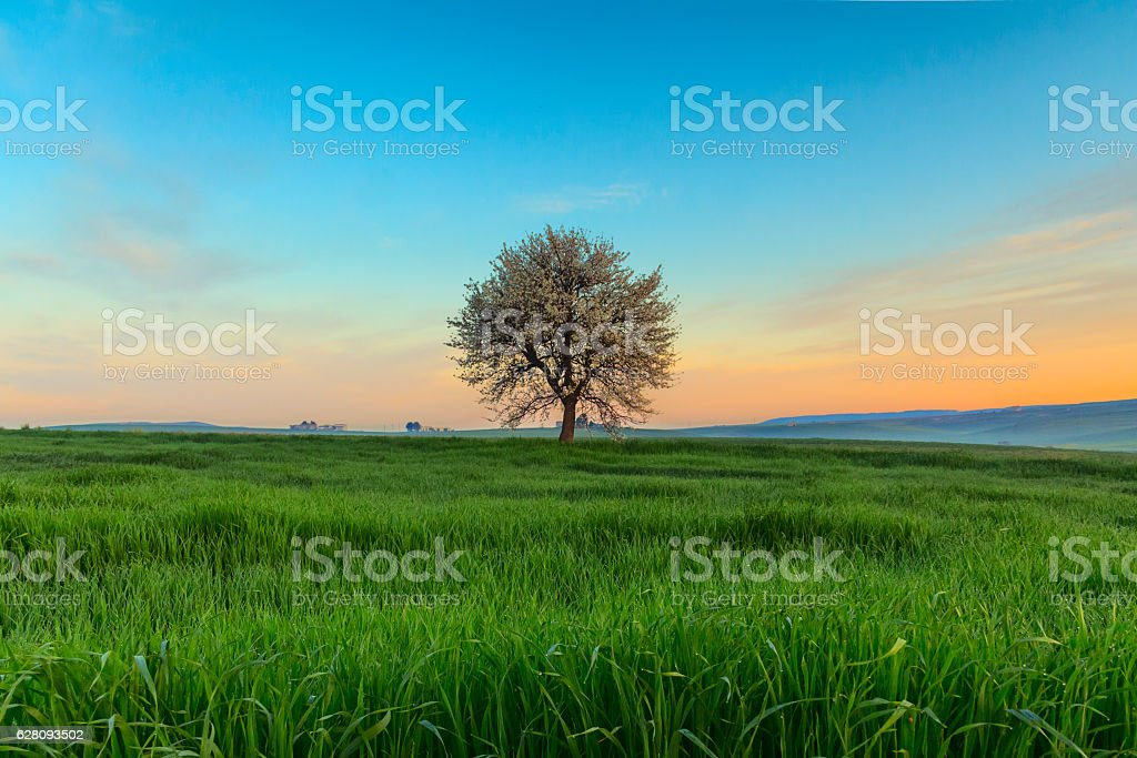 SPRING  LANDSCAPE.Blossoming tree at dawn. Between Apulia and Basilicata ITALY stock photo