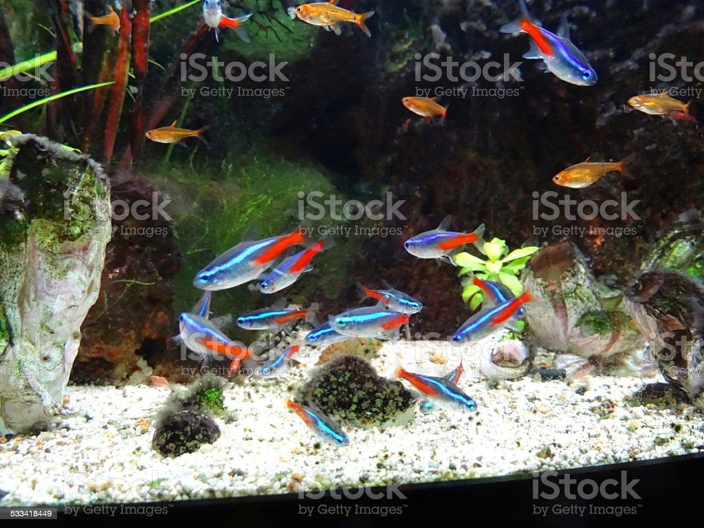 Freshwater aquarium fish rasbora - Landscaped Freshwater Tropical Aquarium Fish Tank Neon Guppies Harlequin Rasbora