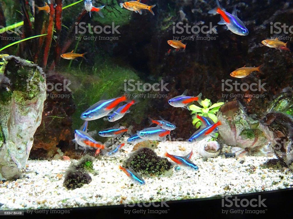 Landscaped freshwater tropical aquarium fish-tank, Neon, guppies, harlequin-rasbora, ember stock photo