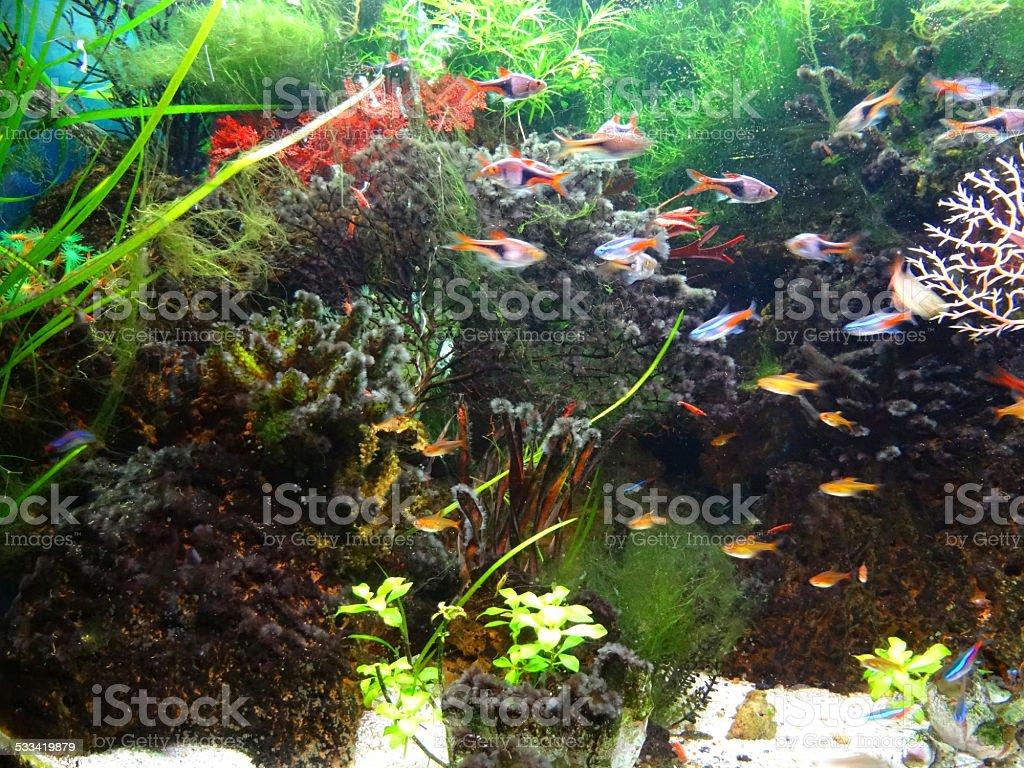 Freshwater aquarium fish rasbora - Landscaped Freshwater Tropical Aquarium Fish Tank Neon Tetras Fish Guppy Harlequin