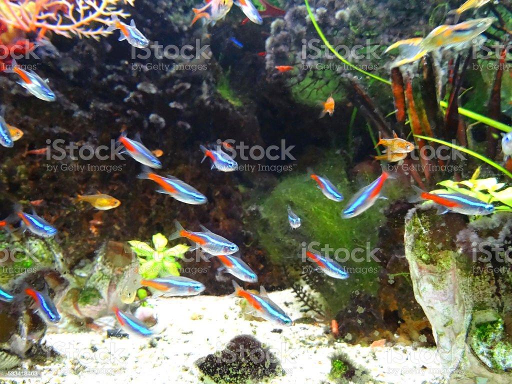 Landscaped freshwater tropical aquarium fish-tank, Neon-tetra fish, guppies, harlequin-rasbora stock photo