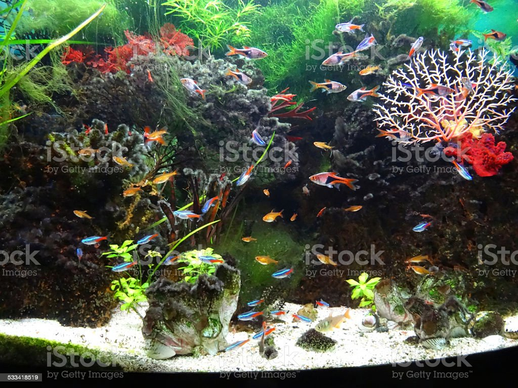 Landscaped freshwater tropical aquarium fishtank, Neon-tetra fish, guppies, harlequin-rasbora stock photo