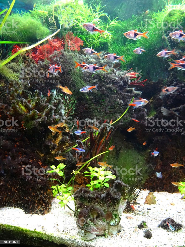 Freshwater aquarium fish rasbora - Landscaped Freshwater Tropical Aquarium Fish Tank Neon Tetra Fish Guppies Harlequin