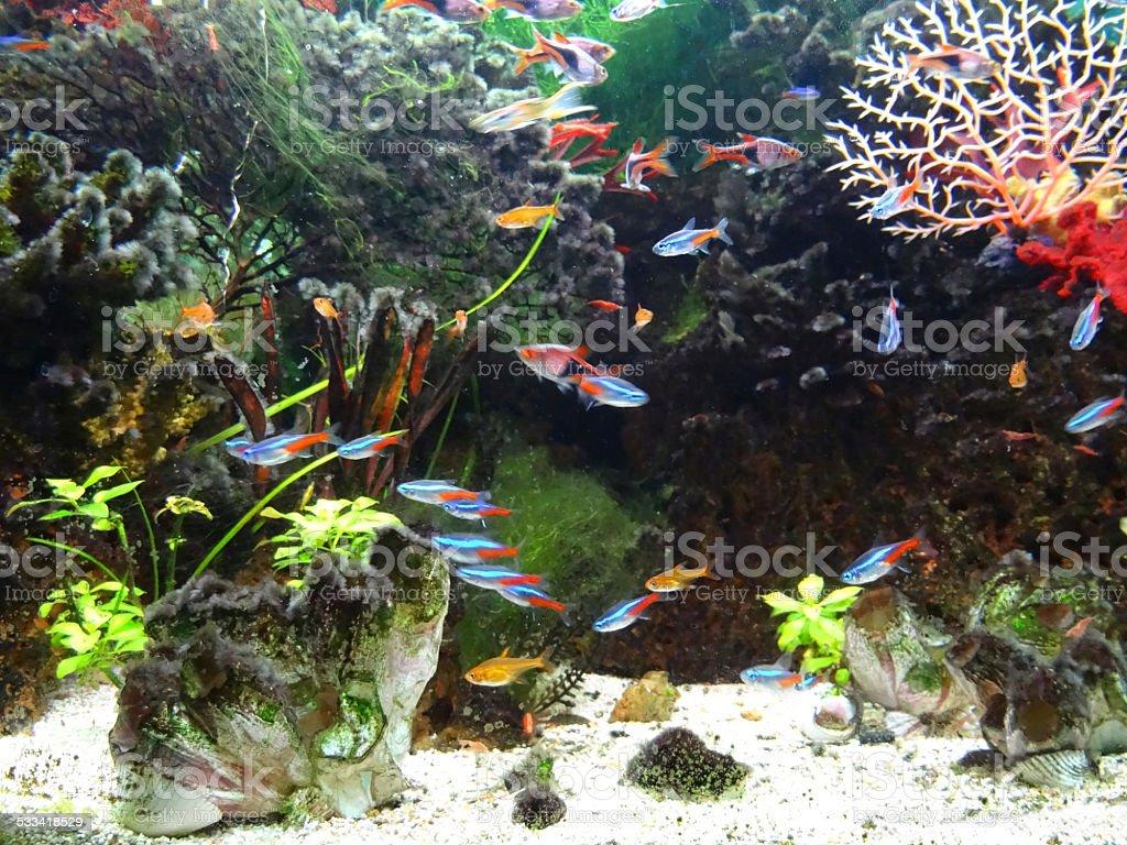 Landscaped freshwater tropical aquarium tank, Neon-tetra fish, guppies, harlequin rasbora stock photo