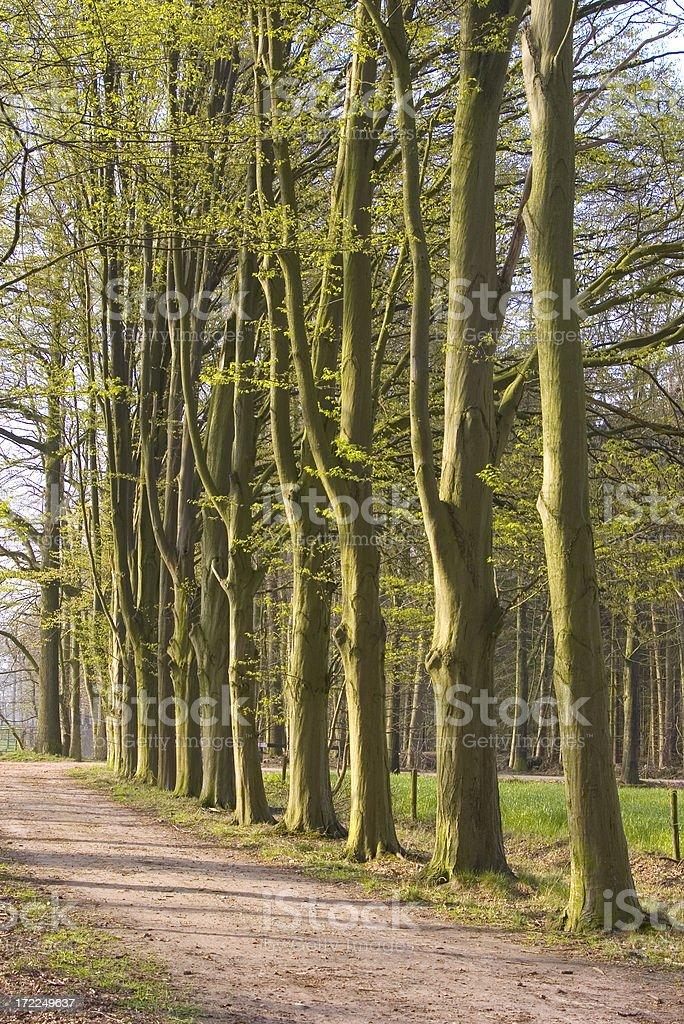 Lane with Hornbeam (Carpinus betulus) stock photo