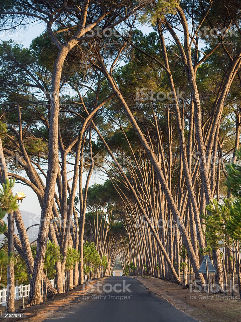 Lane with old trees in sunset light, Stellenbosch, Western Cape, stock photo