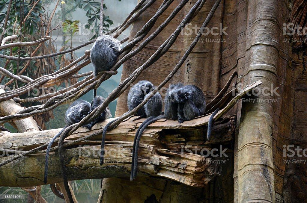 Langer Monkeys stock photo