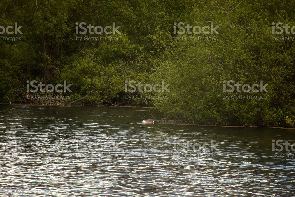 Langford lake - Great Crested Grebe stock photo