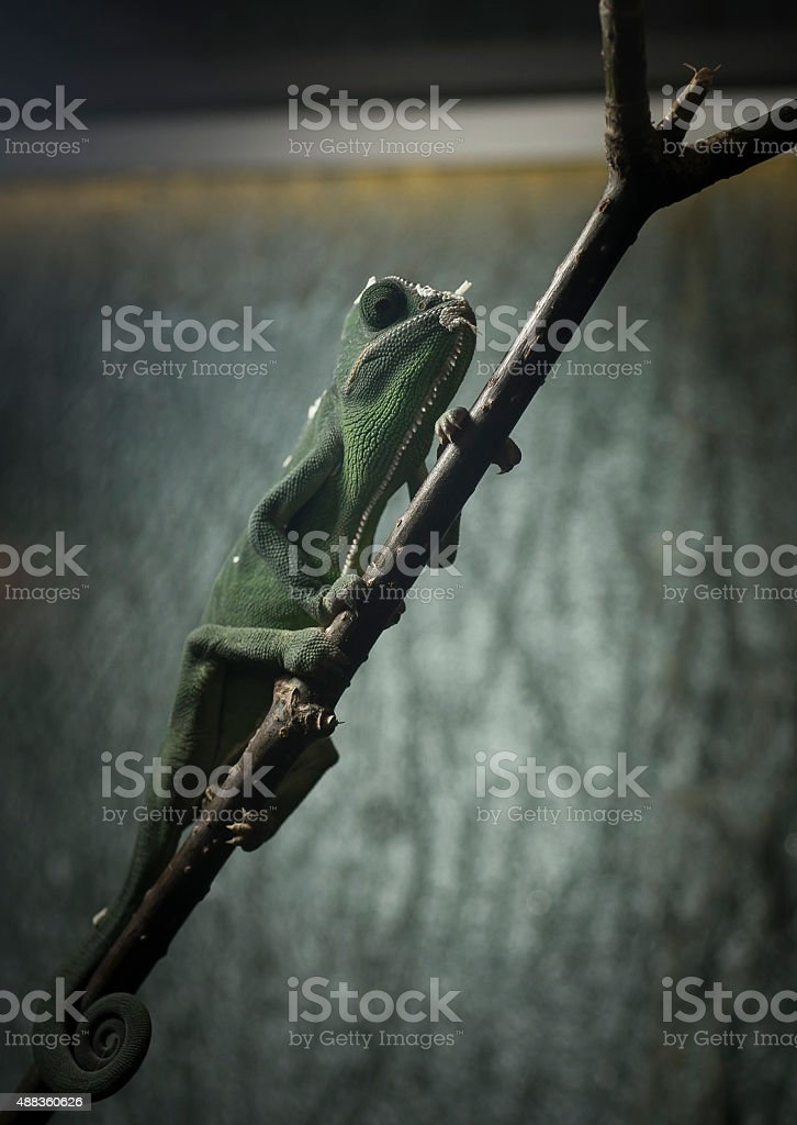 languid Chameleon. stock photo