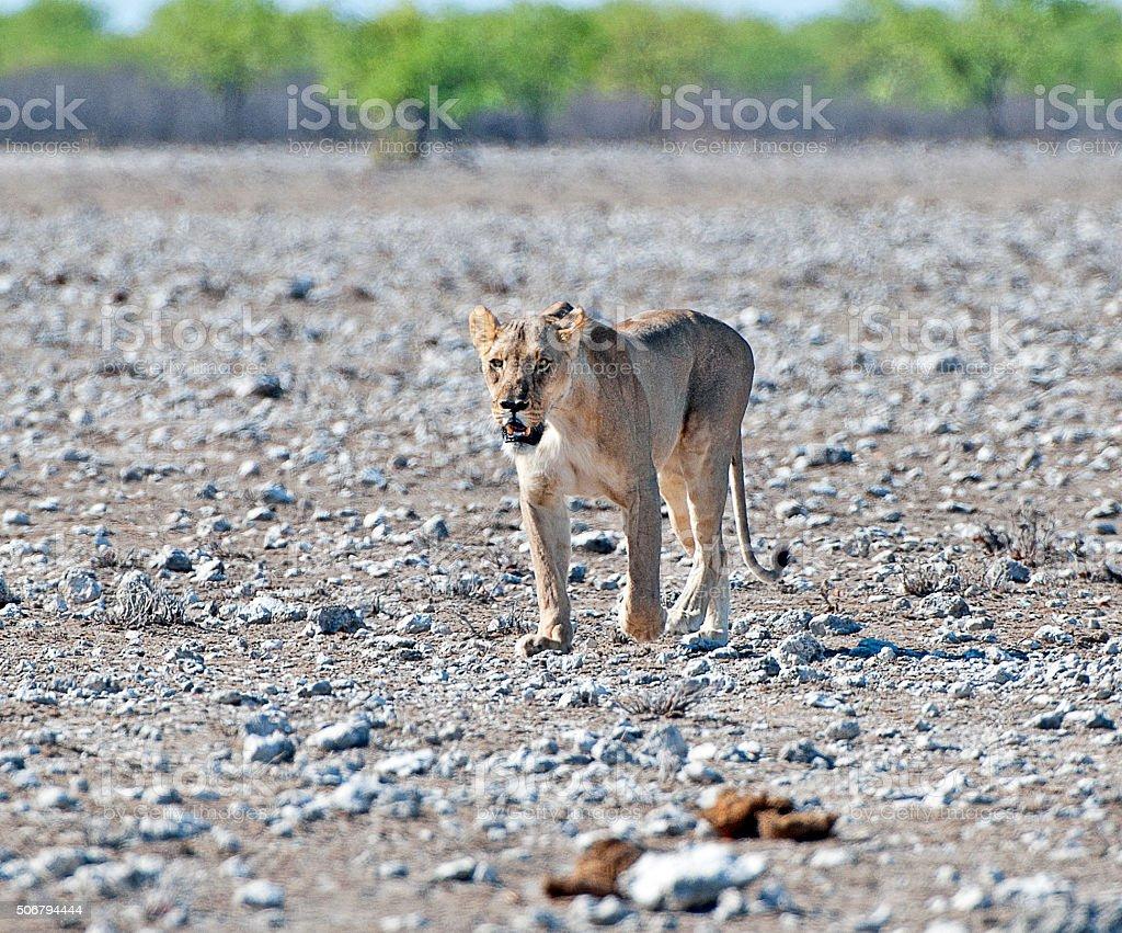 Languid Lioness, Etosha National Park, Namibia, Africa stock photo