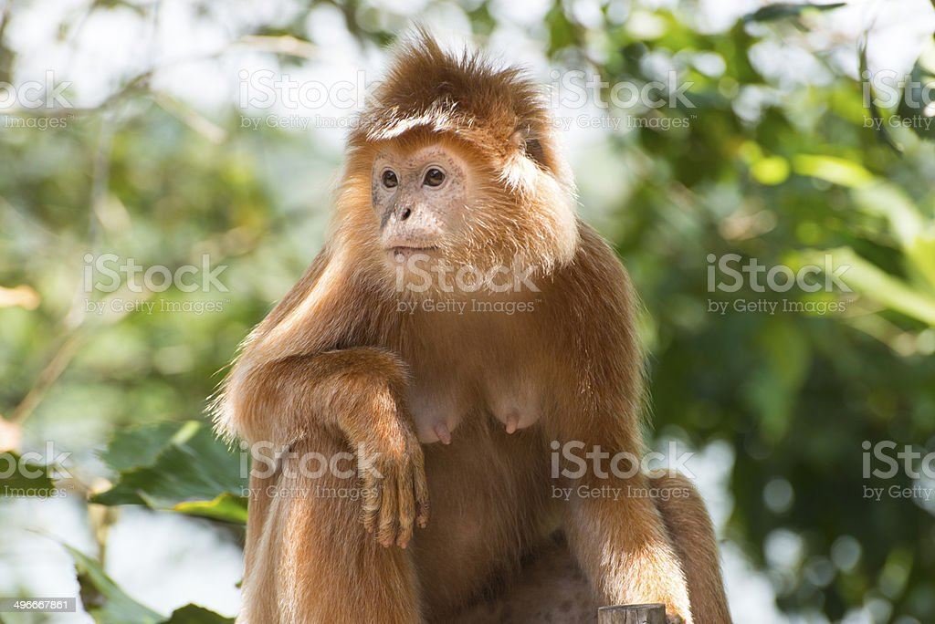 Langur Monkey in wildlife stock photo