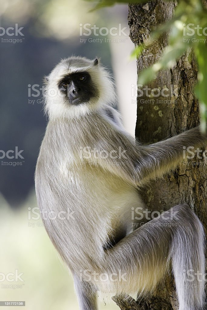 Langur Monkey stock photo