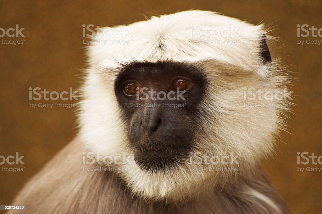 Langur Monkey stock photo
