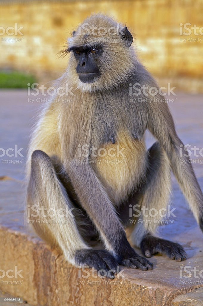 Langur Monkey royalty-free stock photo