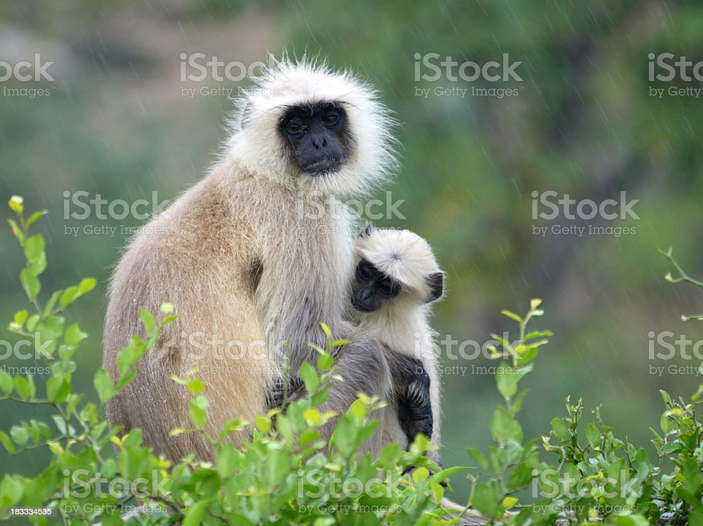 langur monkey with baby, Semnopithecus dussumieri stock photo