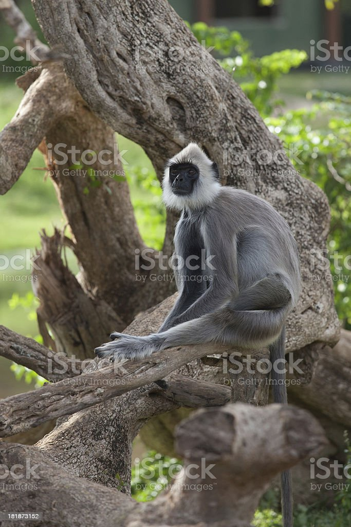Langur monkeys stock photo