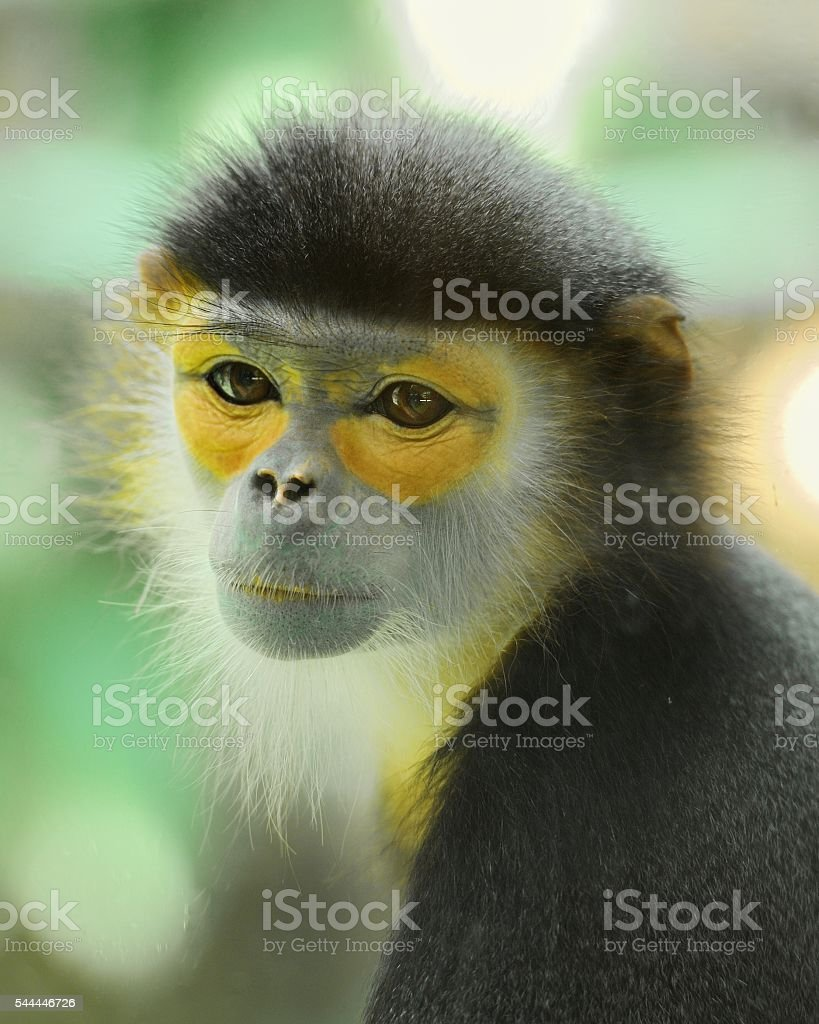 langur(monkey) stock photo