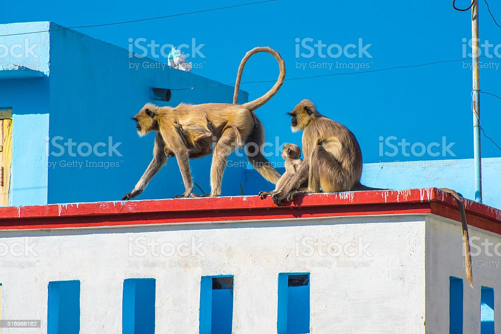 Langurs in the city stock photo