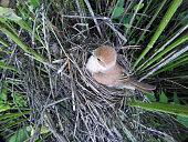 Lanius collurio. The nest of the Common Shrike in nature.