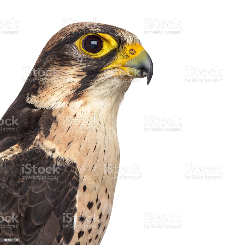 Lanner falcon - Falco biarmicus (7 years old) stock photo