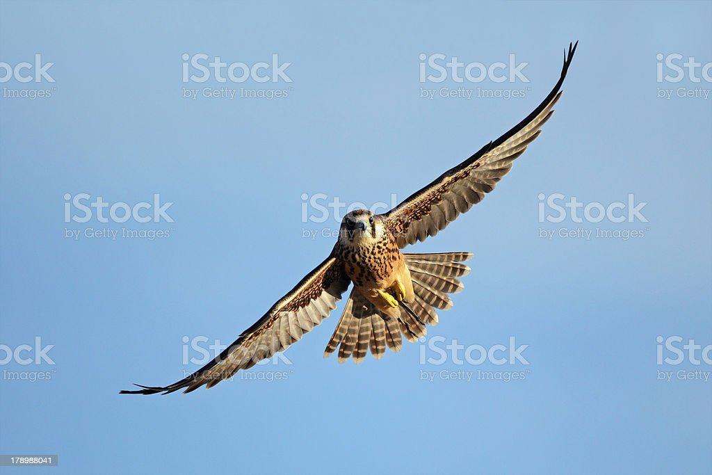 Lanner falcon in flight stock photo