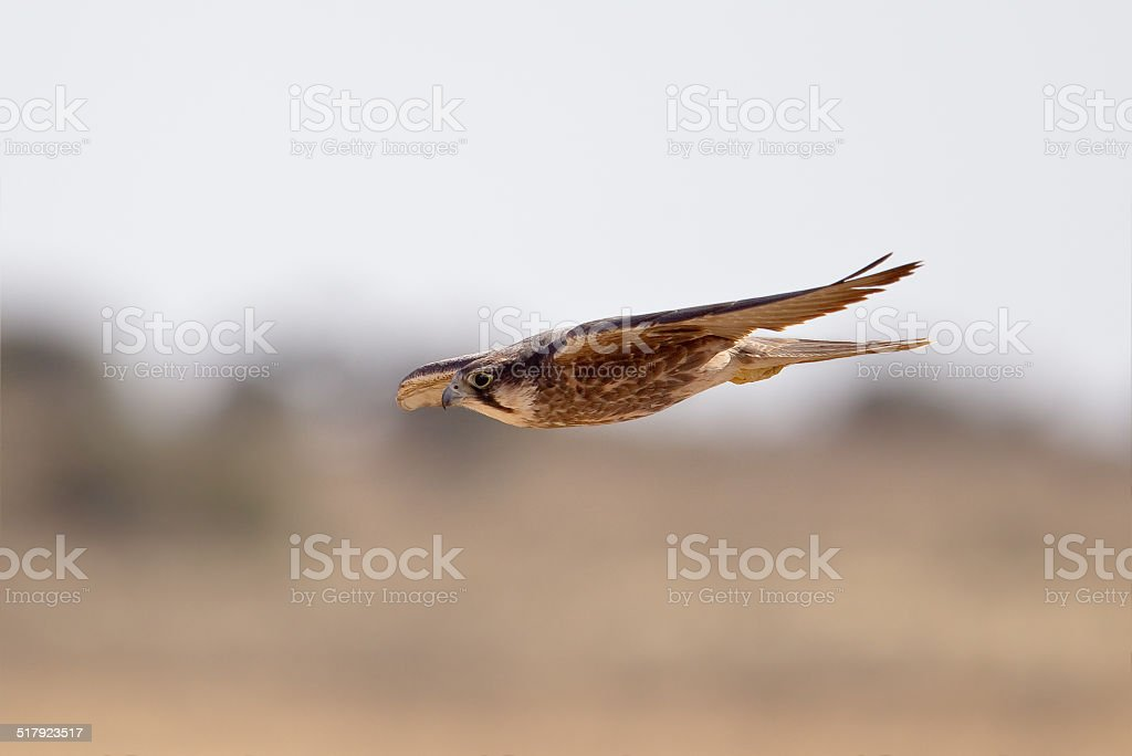 Lanner Falcon in flight stock photo