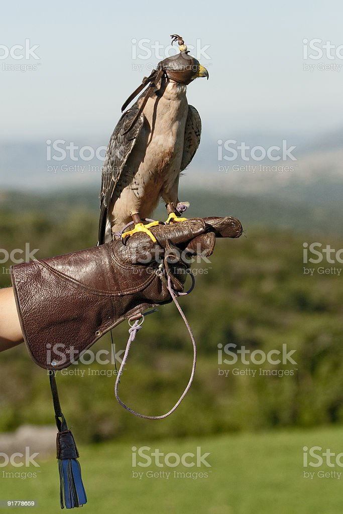 Lanner Falcon on glove stock photo