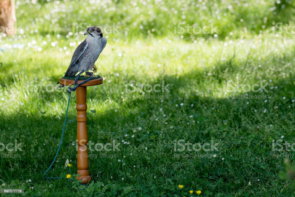 Lanner falcon perched on trespole stock photo
