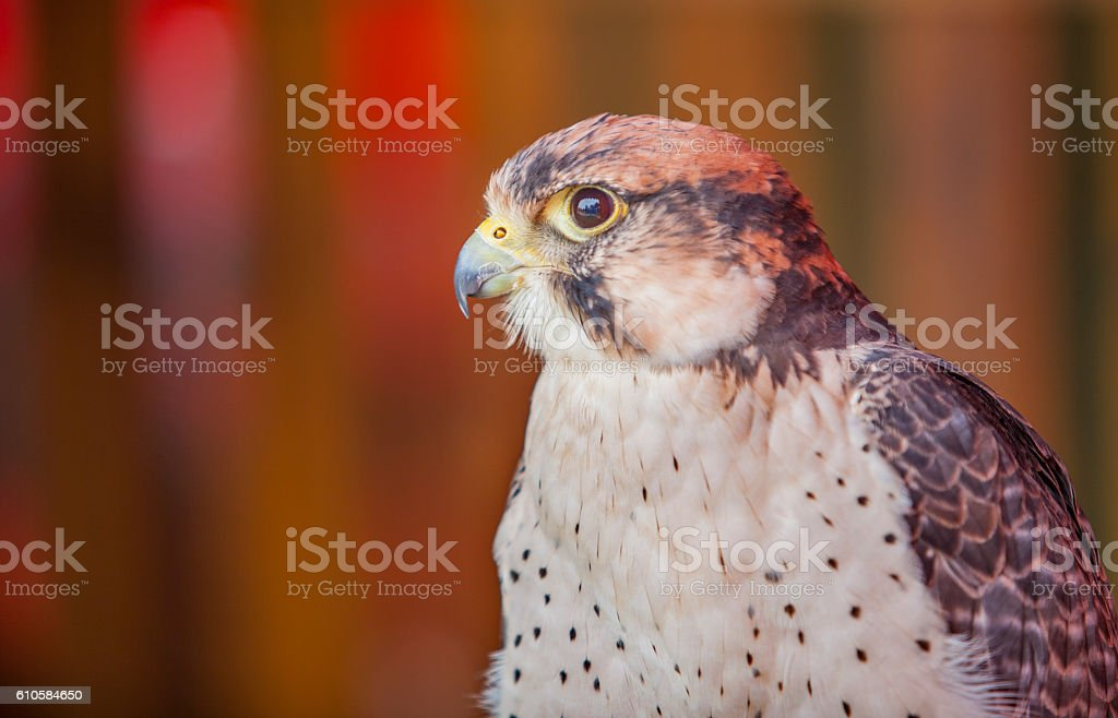 Lanner falcon perched stock photo
