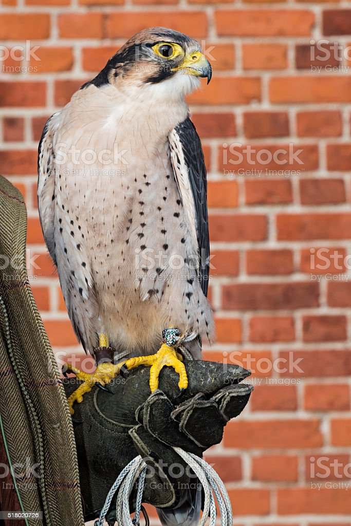 Lanner Falcon Resting On a Glove. stock photo