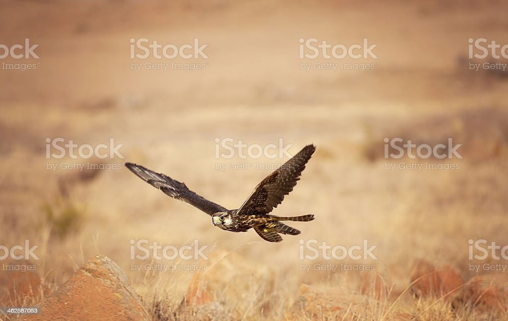 Lanner Falcon Skimmin Over The Grasslands of South Africa stock photo