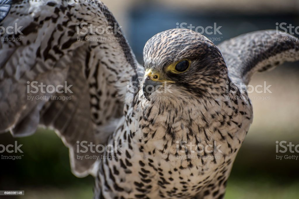 Lanner falcon takes off to hunt. stock photo