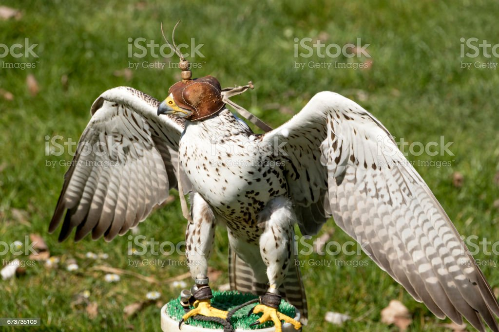 Lanner Falcon with leather hoodie and wings lifted, ready to hunt stock photo