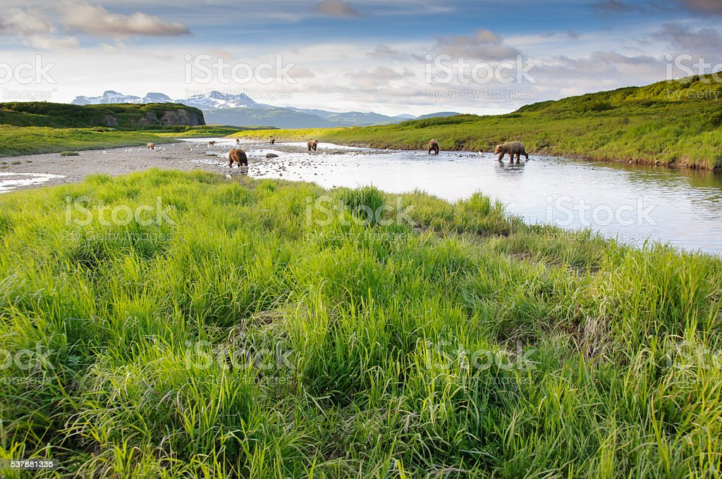 Lanscape Group of Alaska Brown Bears Fishing Salmon McNeil River stock photo