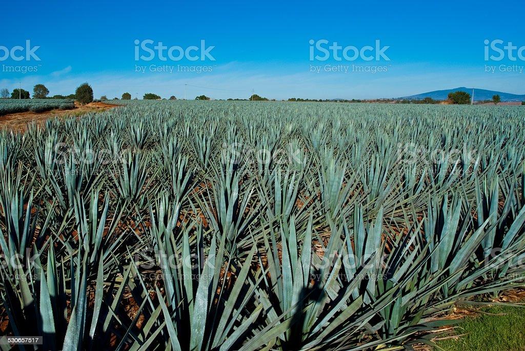 Lanscape tequila mexico stock photo