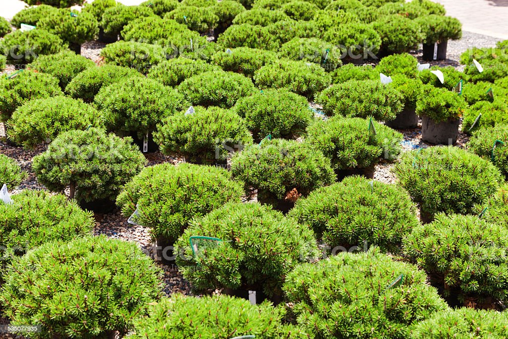 Superior Lanscaping Evergreen Scrubs On Display In Garden Center Royalty Free Stock  Photo