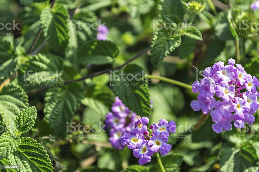 Lantana camara royalty-free stock photo