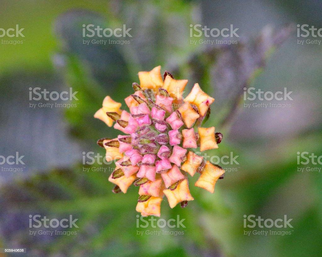 Violet fleur sauvage et le carré jaune pétales photo libre de droits