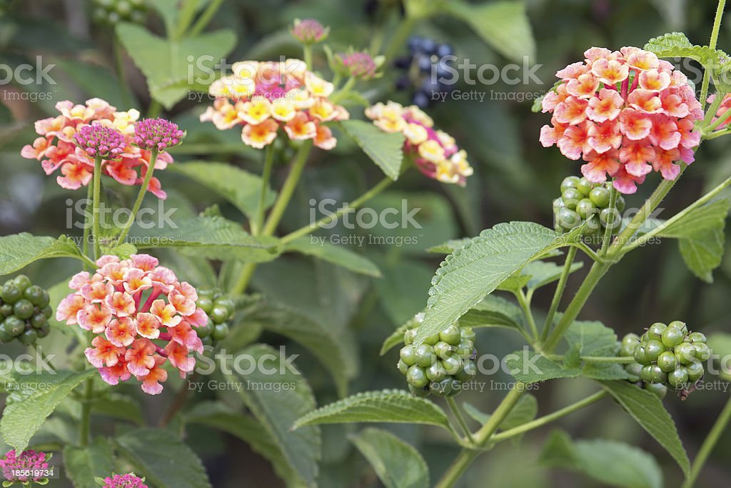 Lantana Flowers and Berries stock photo