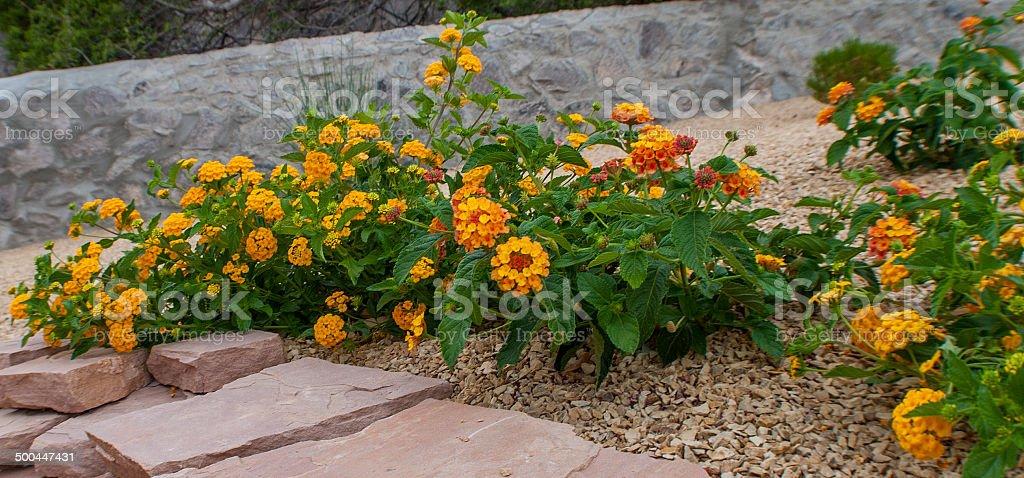 Lantana in Desert Landscaping stock photo